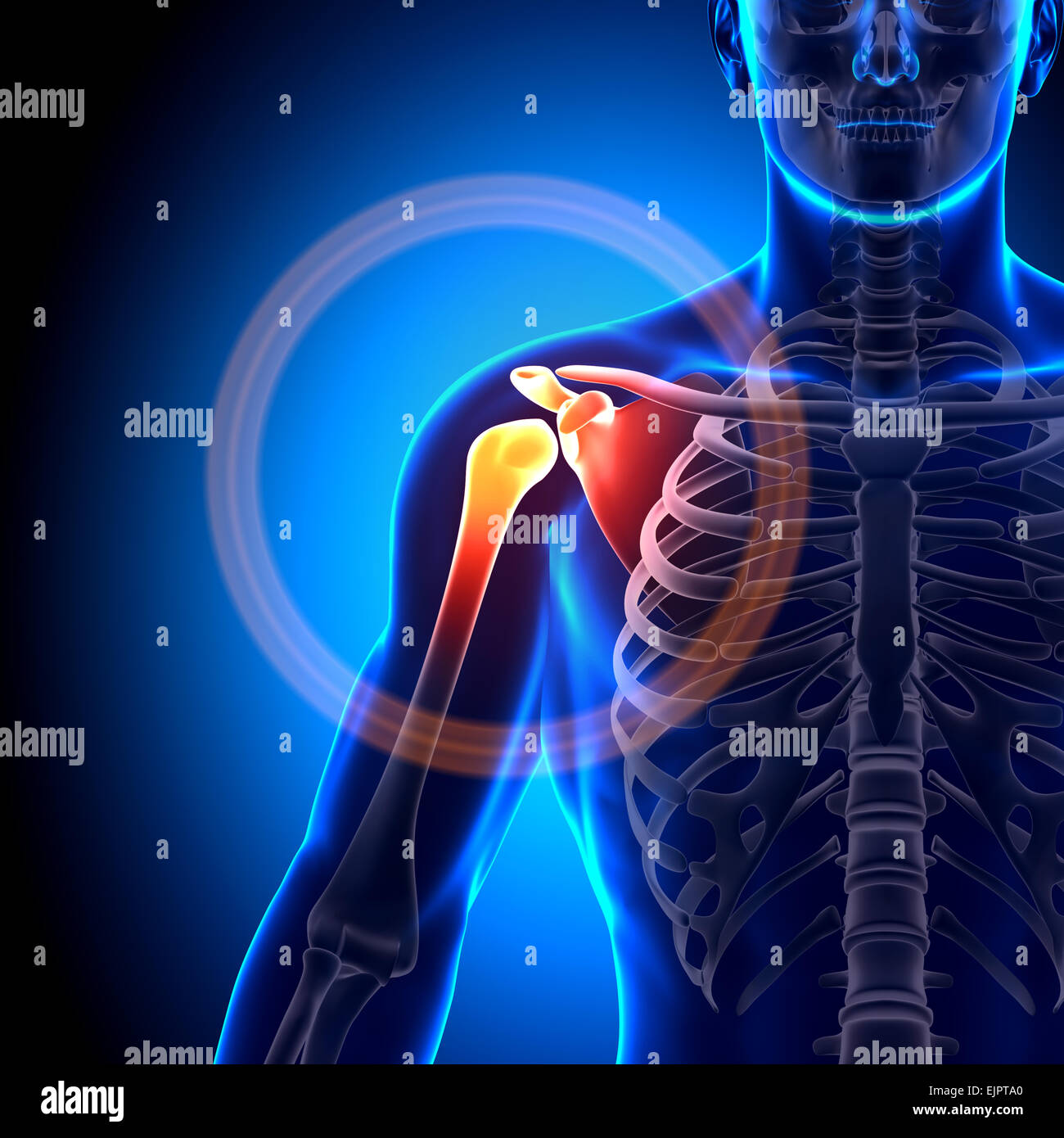 Male Shoulder Scapula Clavicle Anatomy Bones Stock Photo