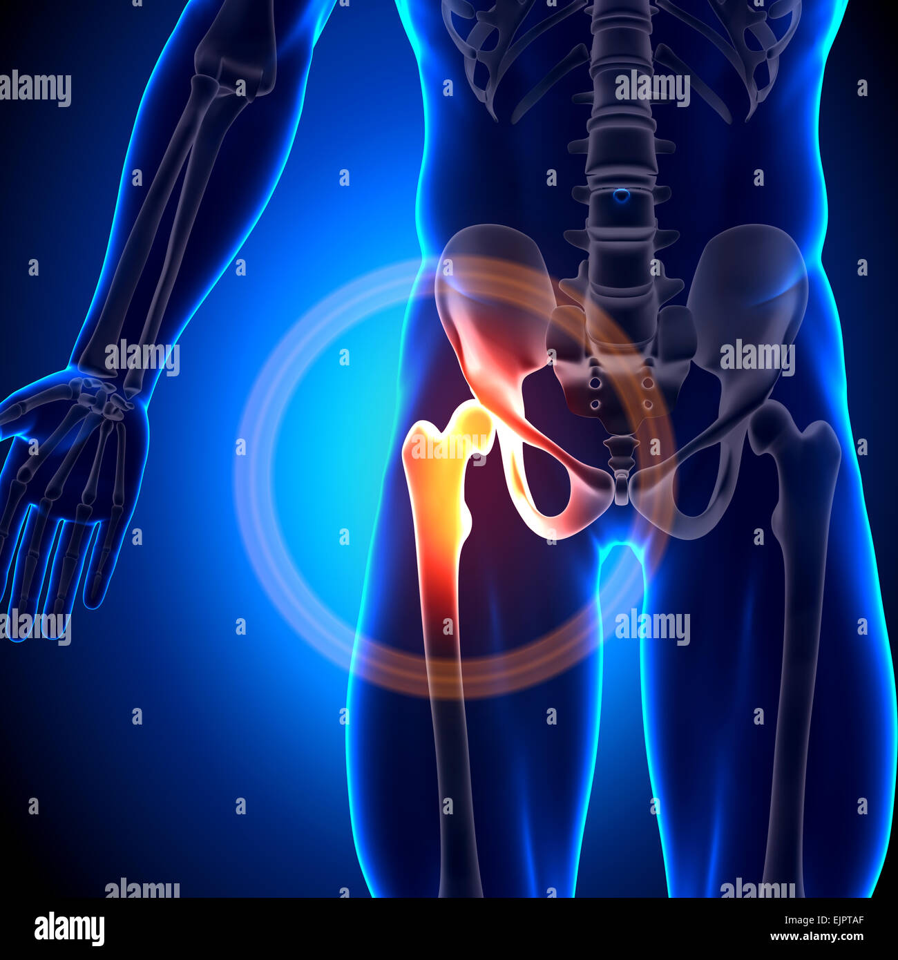Male Hip Joint Anatomy Bones Stock Photo 80407335 Alamy