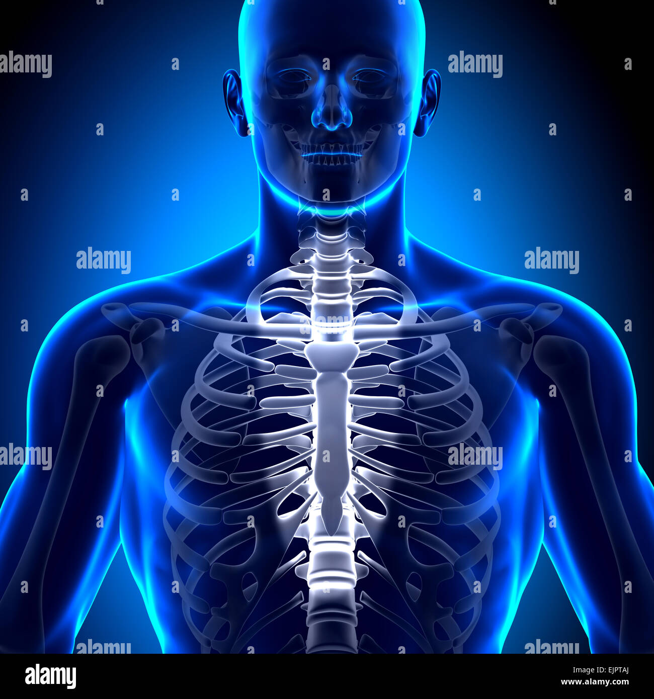 Male Rib Cage Sternum Anatomy Bones Stock Photo 80407338 Alamy