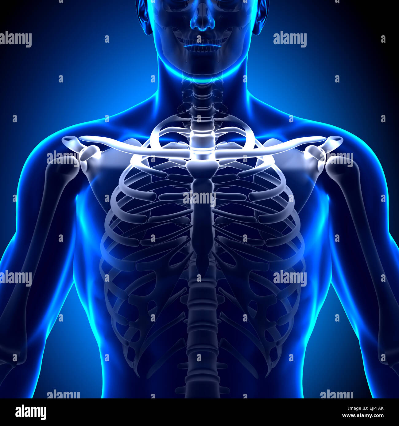 Male Clavicle Bone Anatomy Anatomy Bones Stock Photo 80407339 Alamy
