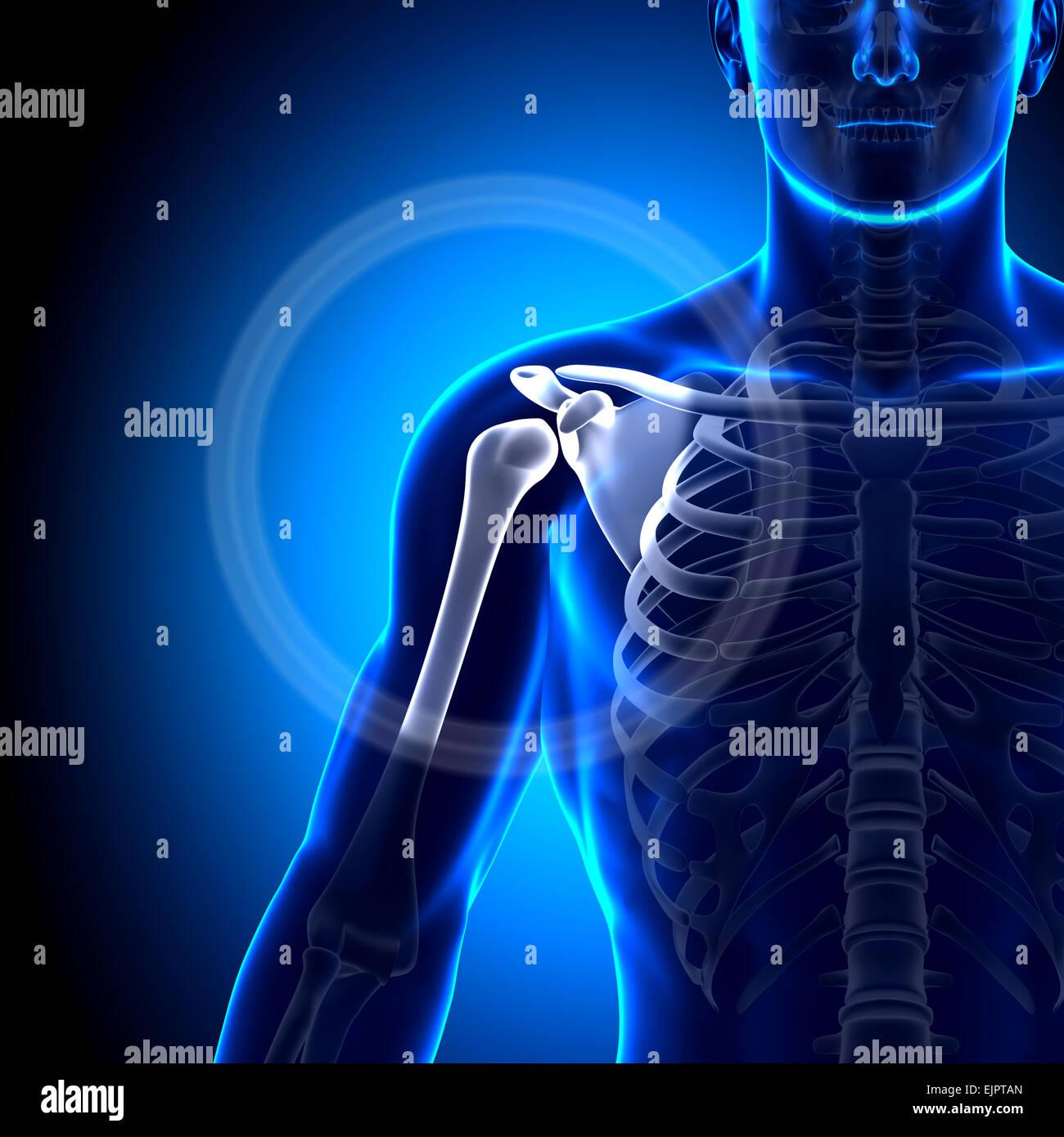 Male Shoulder Scapula Clavicle Anatomy Bones Stock Photo