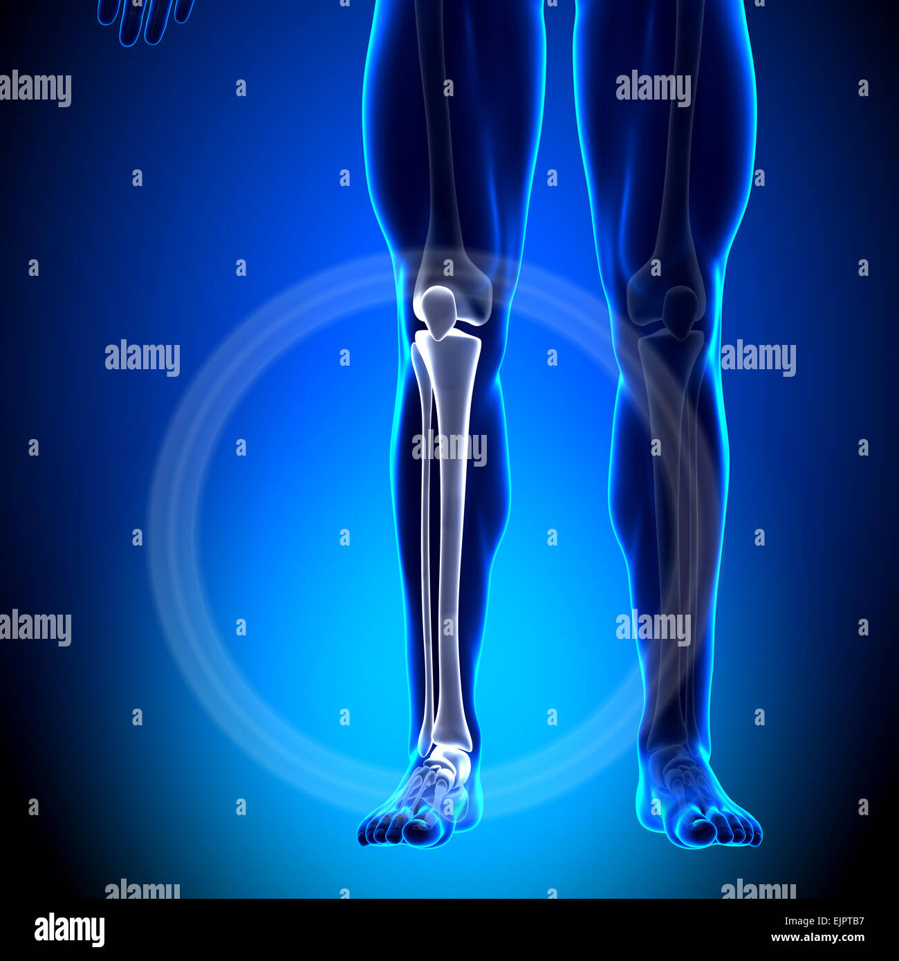 Male Tibia / Fibula - Calf Anatomy - Anatomy Bones Stock Photo ...