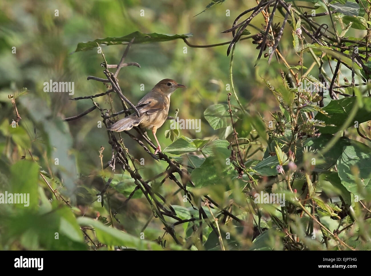 Singing Cisticola (Cisticola cantans swanzii) adult, perched in bush, Atewa, Ghana, February - Stock Image