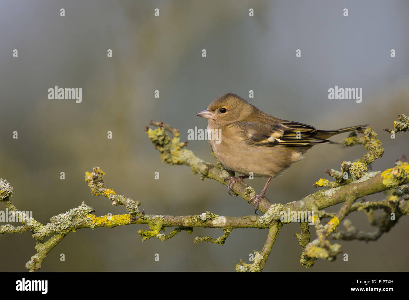 Common Chaffinch (Fringilla coelebs) adult female, perched on lichen covered twig, Norfolk, England, January - Stock Image