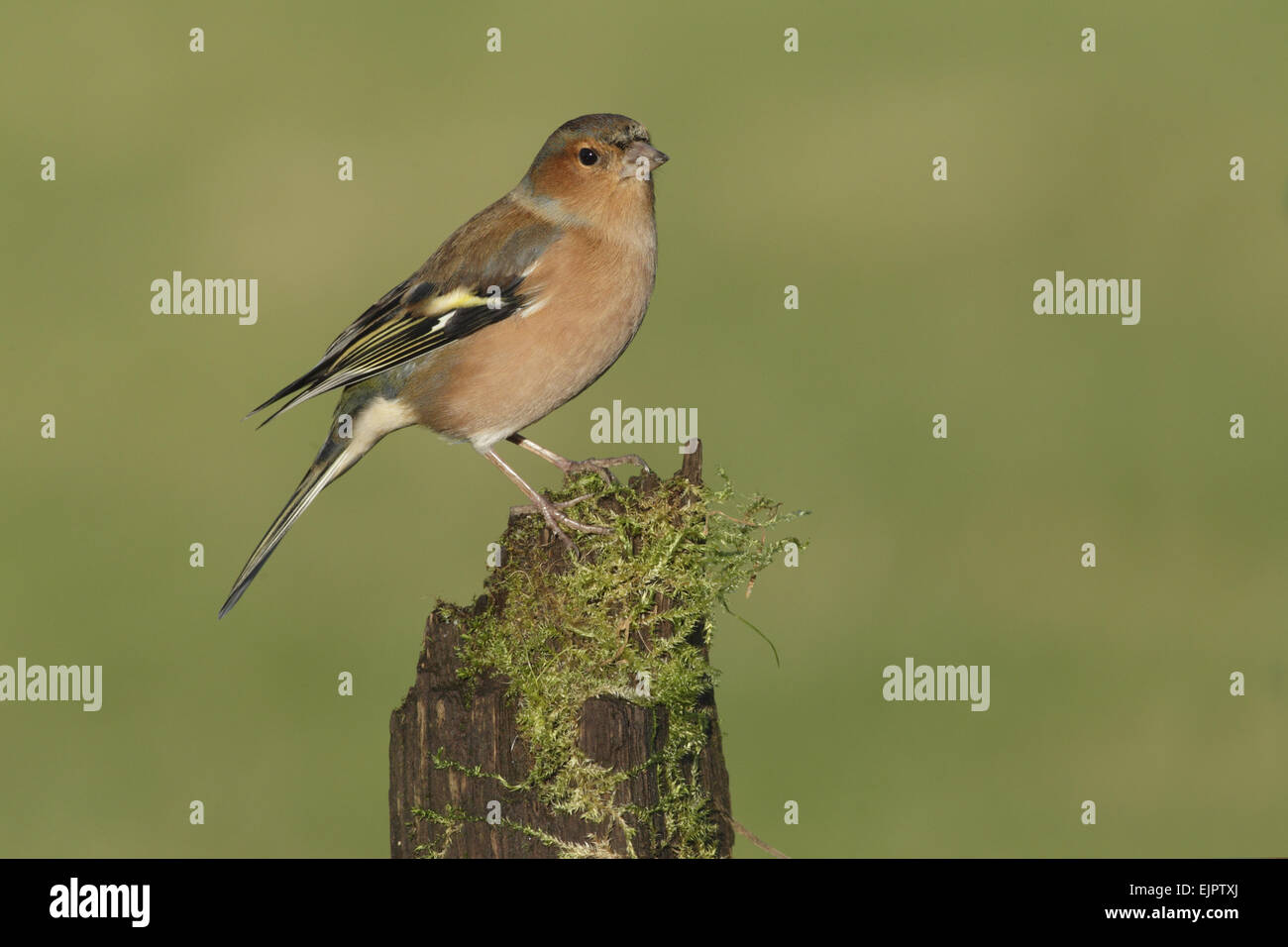 Common Chaffinch (Fringilla coelebs) adult male, perched on mossy stump, West Yorkshire, England, December - Stock Image