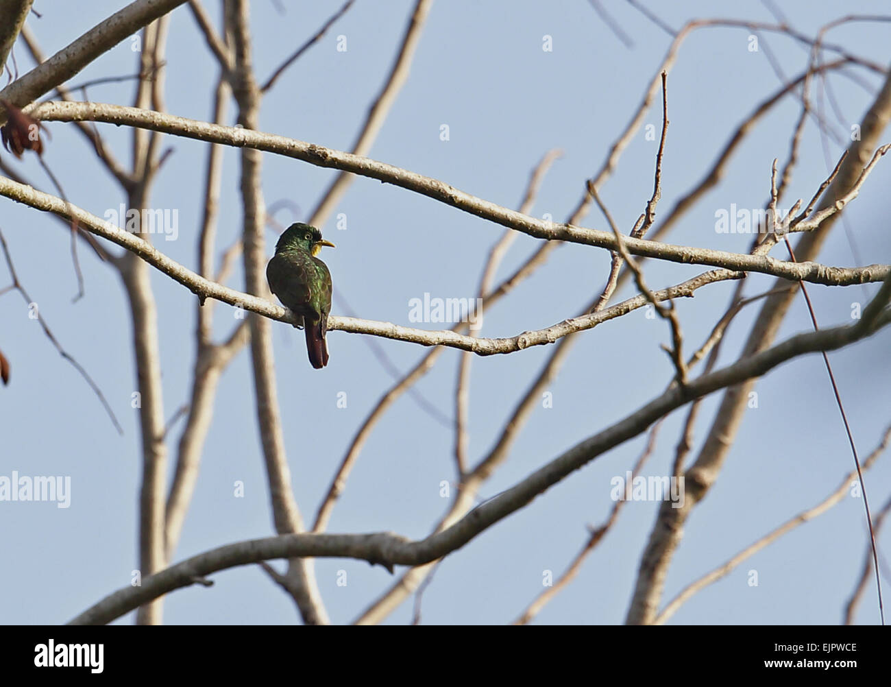 Yellow-throated Cuckoo (Chrysococcyx flavigularis) adult male, perched on branch, Atewa, Ghana, February - Stock Image