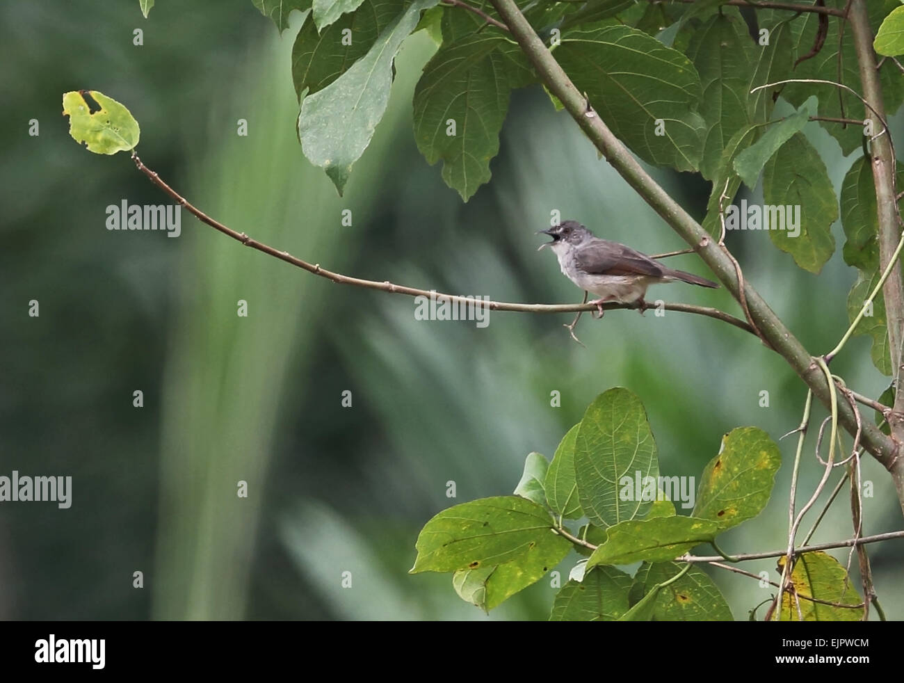 Whistling Cisticola (Cisticola lateralis lateralis) adult, singing, perched on twig, Abrafo Forest Road, Ghana, - Stock Image