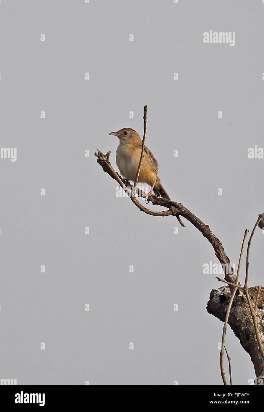 Short-winged Cisticola (Cisticola brachypterus brachypterus) adult, perched at top of dead tree, Shai Hills, Greater - Stock Image