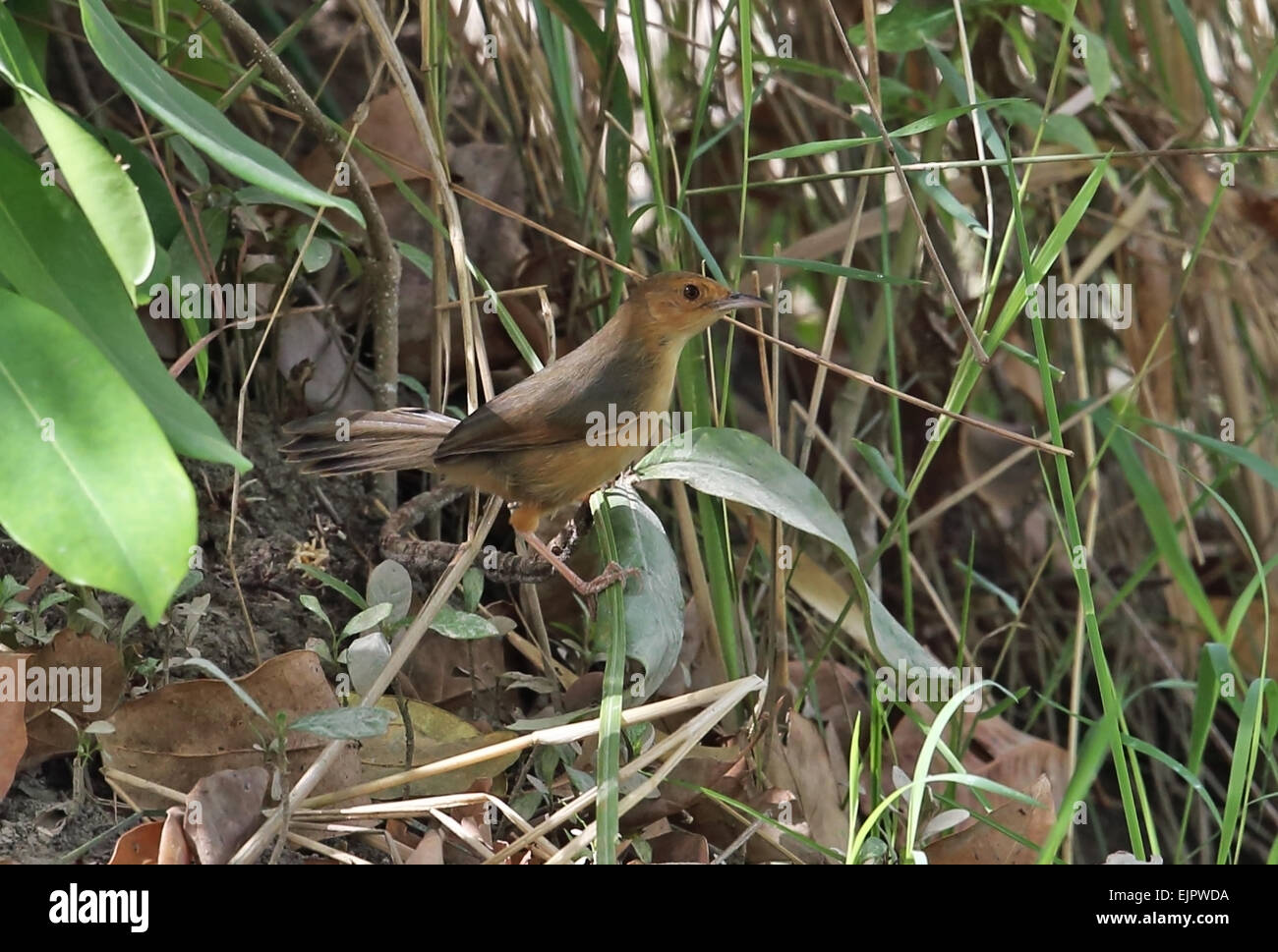 Red-faced Cisticola (Cisticola erythrops erythrops) adult, perched low in bush, Mole N.P., Ghana, February - Stock Image