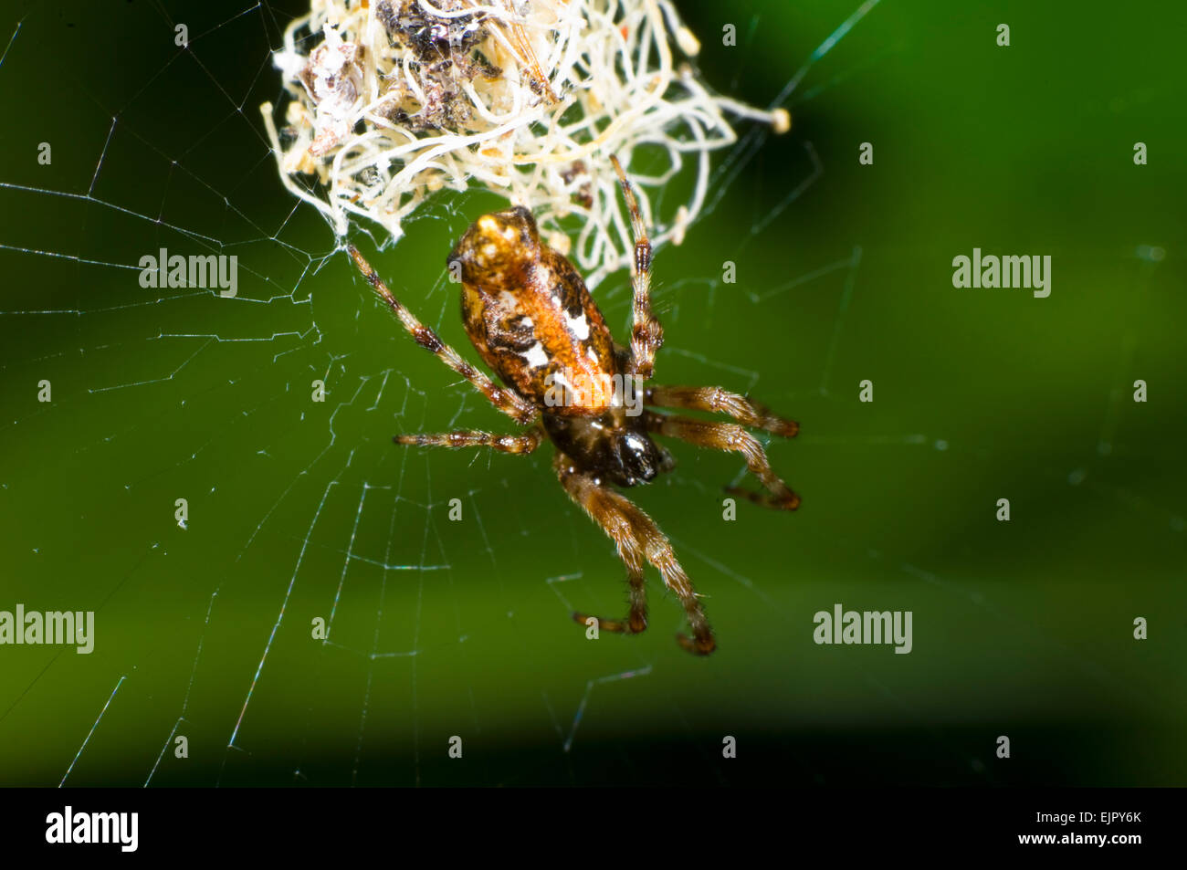 4898aeaded0 Cyclosa Spider Stock Photos & Cyclosa Spider Stock Images - Alamy