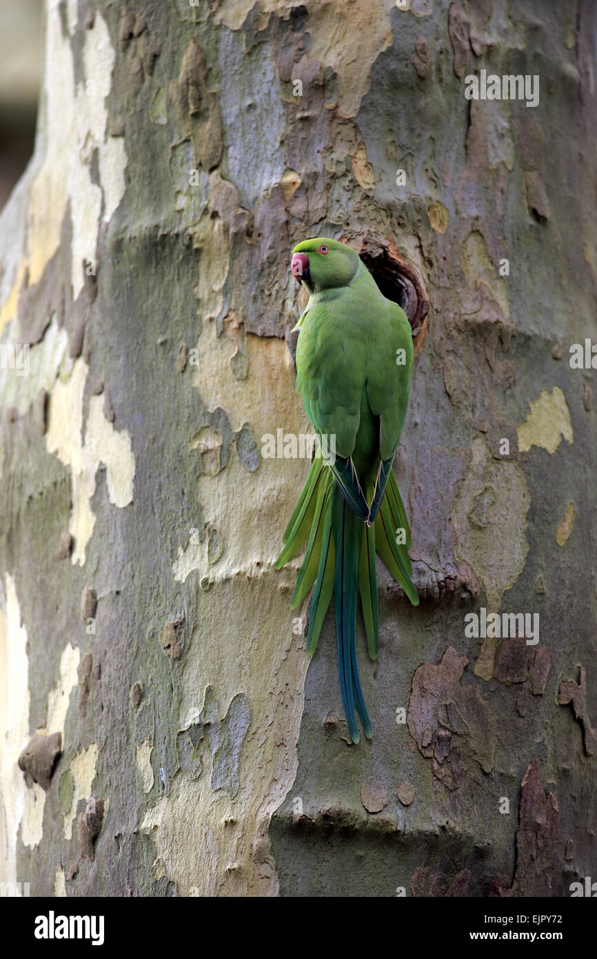 Rose-ringed Parakeet (Psittacula krameri) introduced species, adult female, at nesthole in tree trunk, Mannheim, Stock Photo