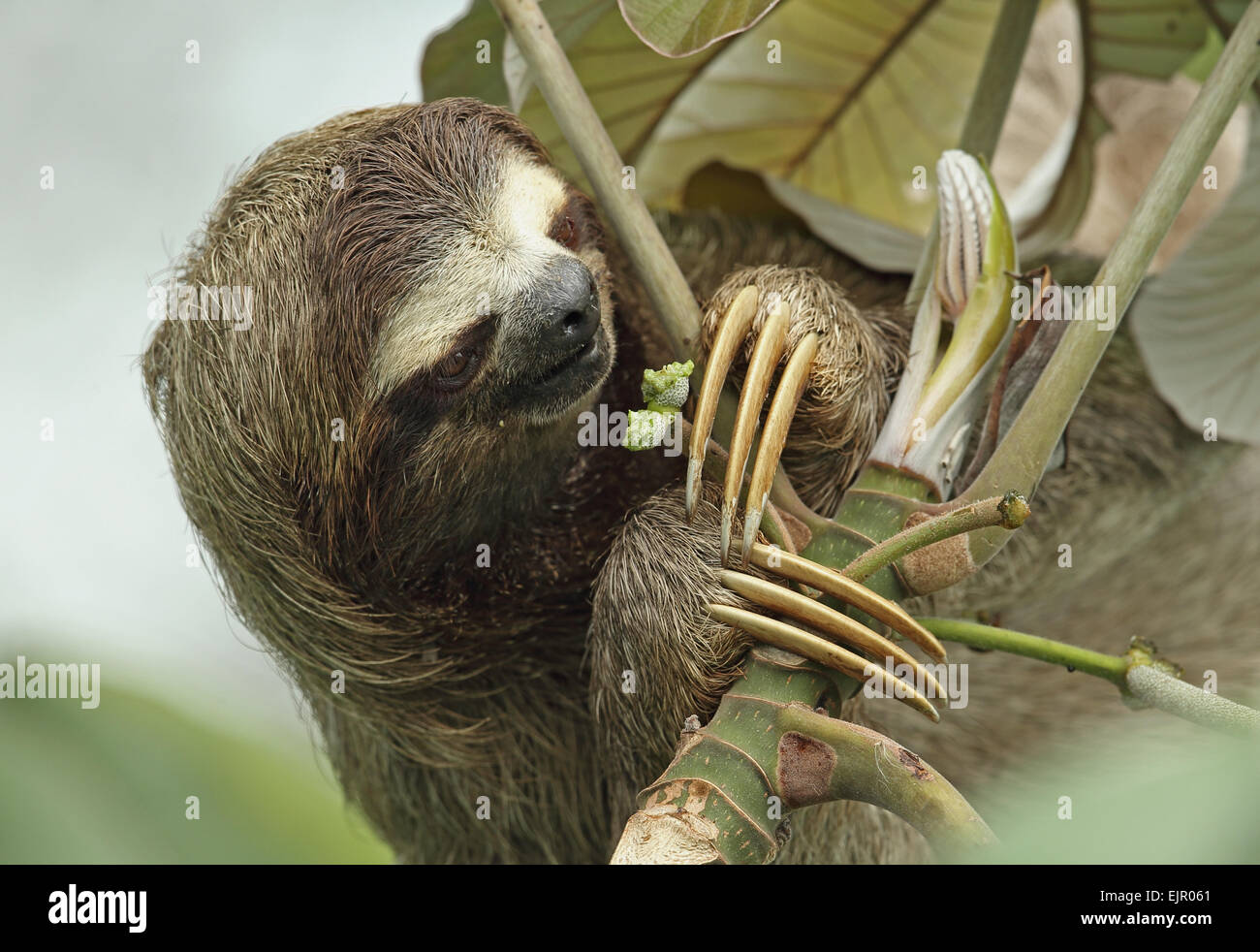 Brown-throated Three-toed Sloth (Bradypus variegatus) adult, close-up of head and claws, feeding on fruit, Canopy Tower, Panama, November Stock Photo
