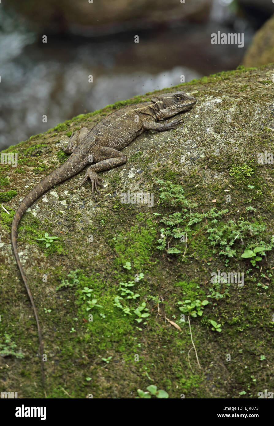 Common Basilisk (Basiliscus basiliscus) adult, with small insects in flight around head, resting on rock in river, Stock Photo