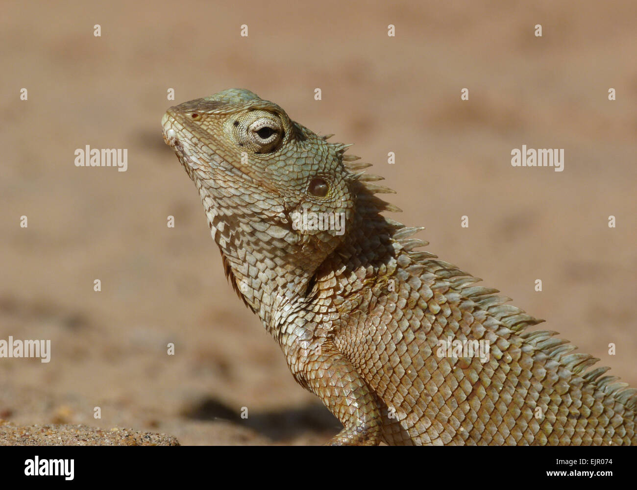 Oriental Garden Lizard (Calotes versicolor) adult, close-up of head ...