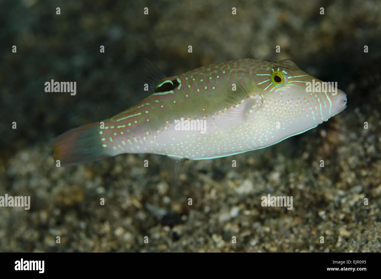 Whitebelly Toby (Canthigaster bennetti) adult, swimming, Lembeh Straits, Sulawesi, Greater Sunda Islands, Indonesia, November Stock Photo