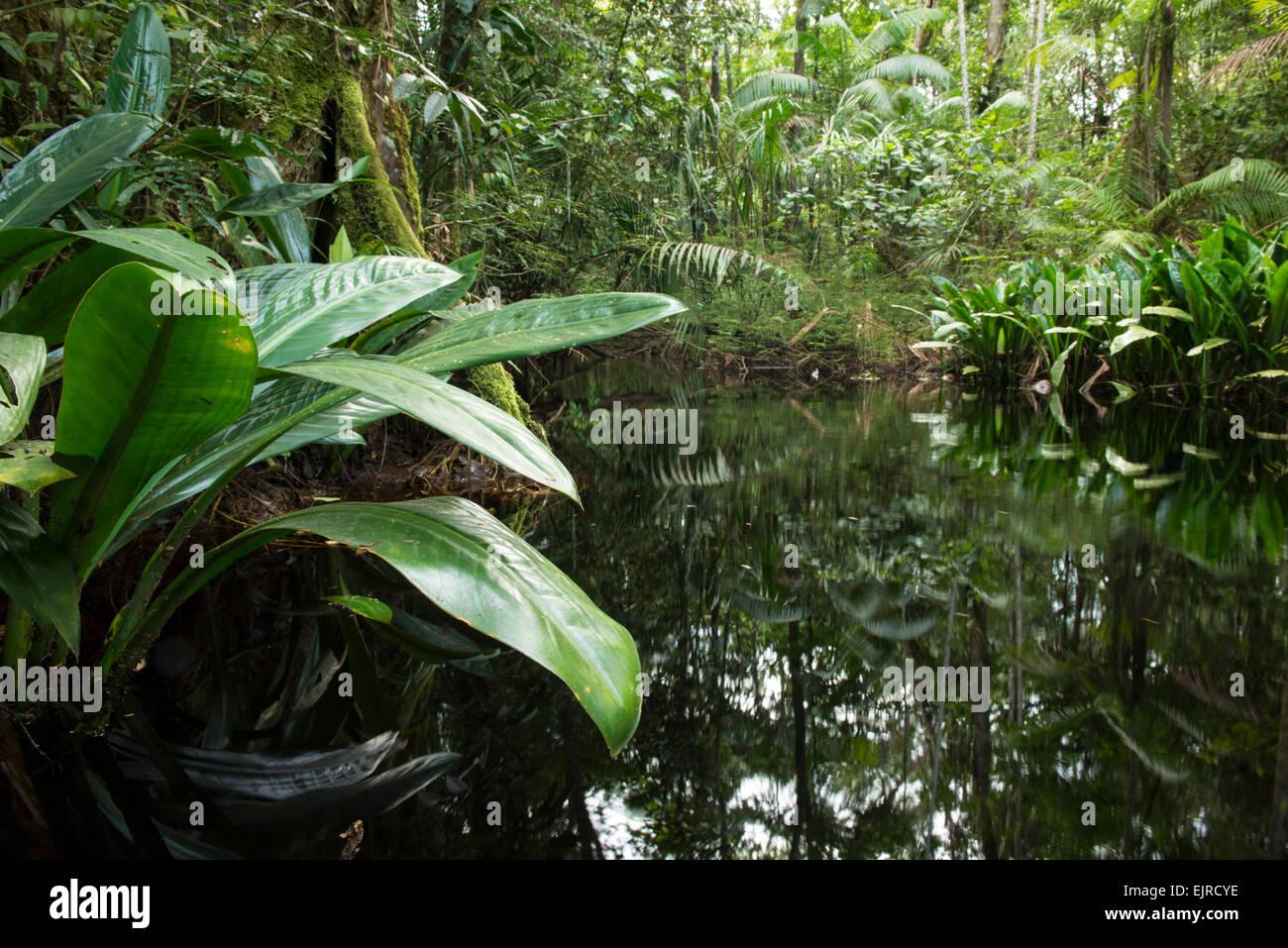 Jungle-fringed creek near Paramaribo, Suriname - Stock Image