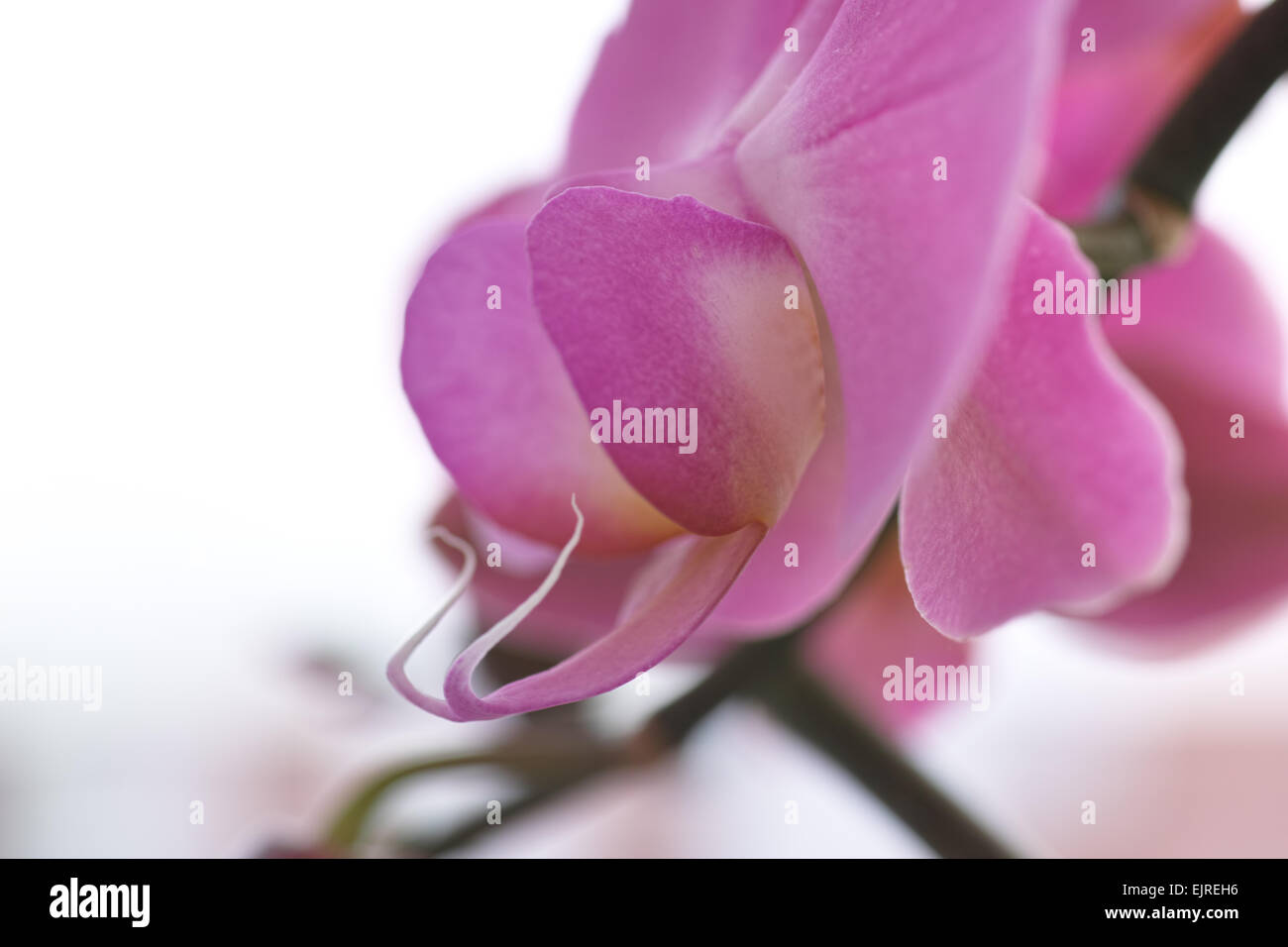 Orchid family, is the largest family of the flowering plants (Angiospermae). Its name is derived from the genus - Stock Image