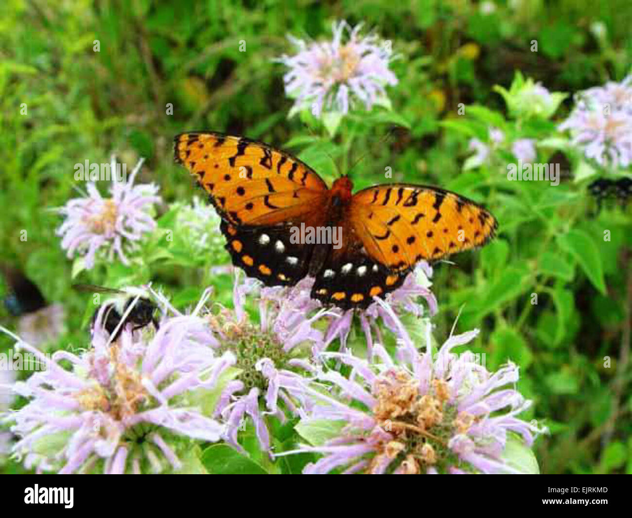 Pennsylvania's Fort Indiantown Gap Training Center is the home to the only viable colony of regal fritillary butterflies Stock Photo