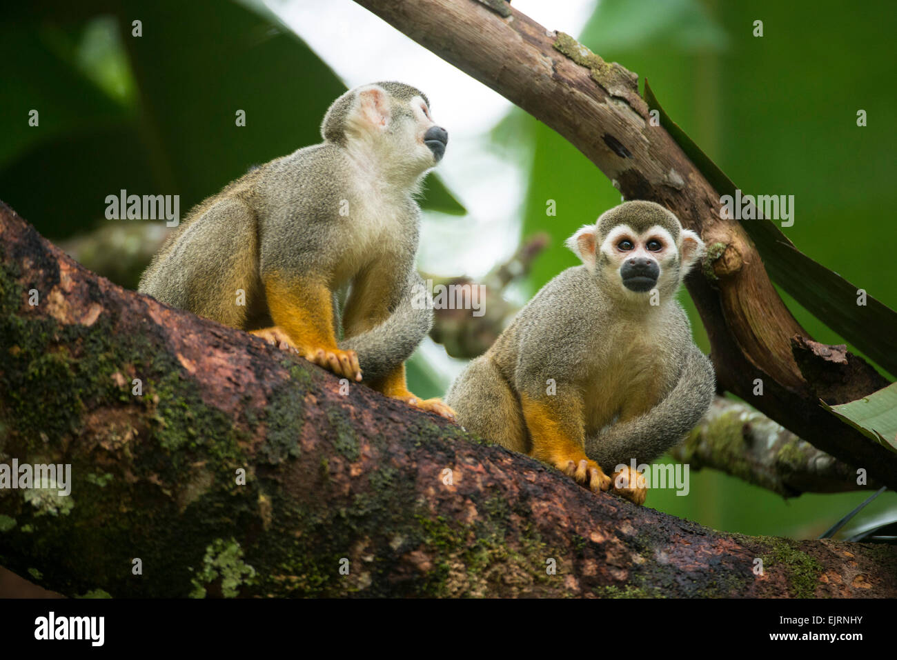Squirrel monkeys, Saimiri, Central Suriname Nature Reserve, Suriname - Stock Image