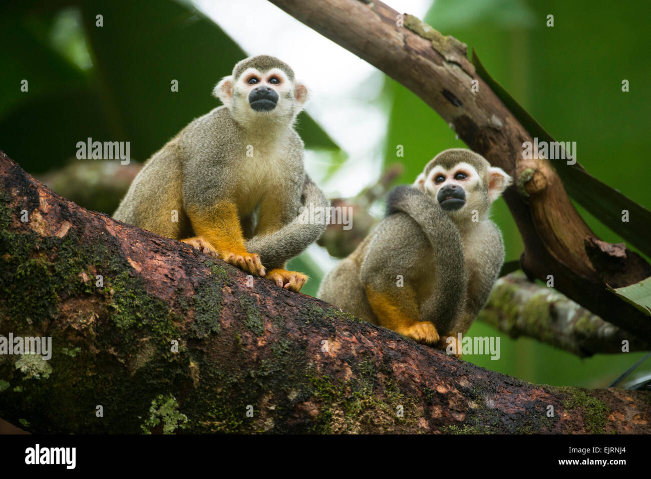 Squirrel monkeys, Saimiri, Central Suriname Nature Reserve, Suriname - Stock Image