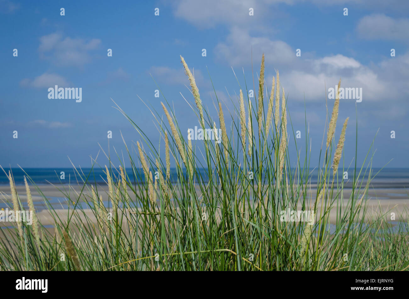 Close-up detail of marram grass with the beach and sea in the background - Stock Image