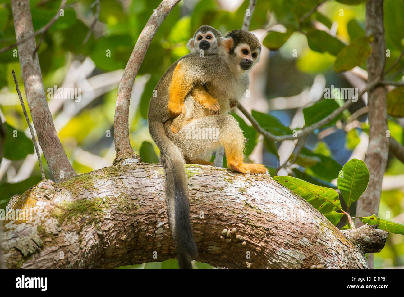 Squirrel monkey with young, Saimiri, Central Suriname Nature Reserve, Suriname - Stock Image