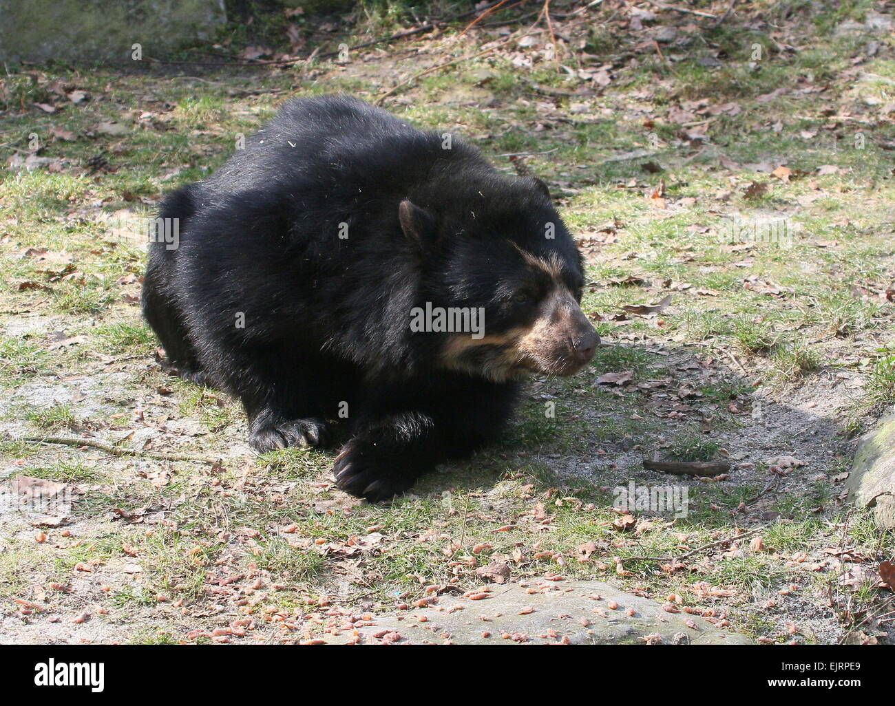 Spectacled or  Andean bear (Tremarctos ornatus) resting on the ground Stock Photo
