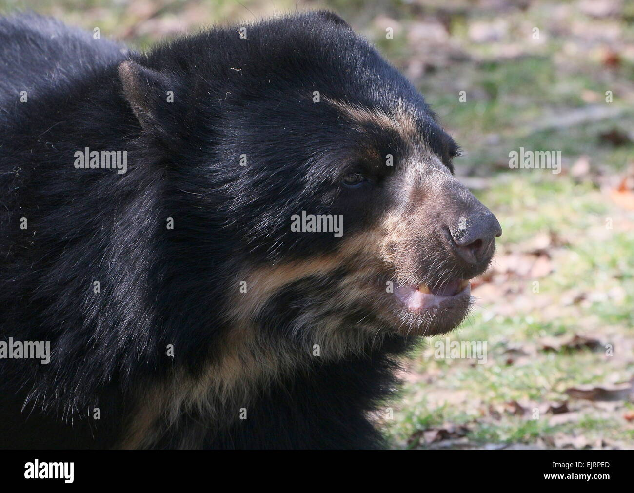 South American Spectacled or  Andean bear (Tremarctos ornatus) close-up of the head, seen in profile Stock Photo