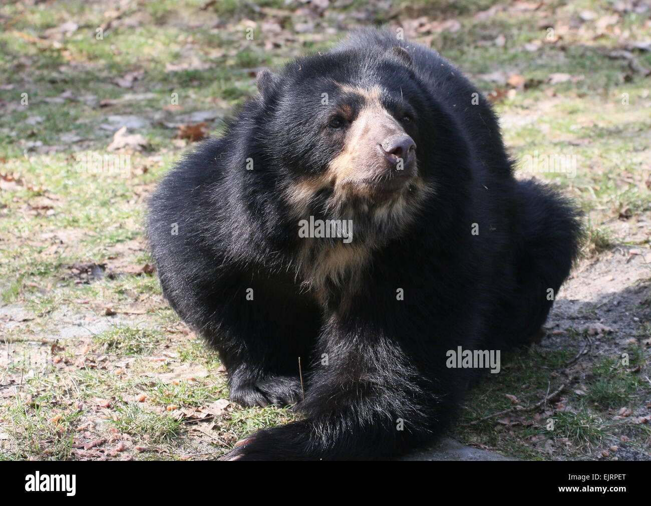 Spectacled or  Andean bear (Tremarctos ornatus) lying on the ground Stock Photo