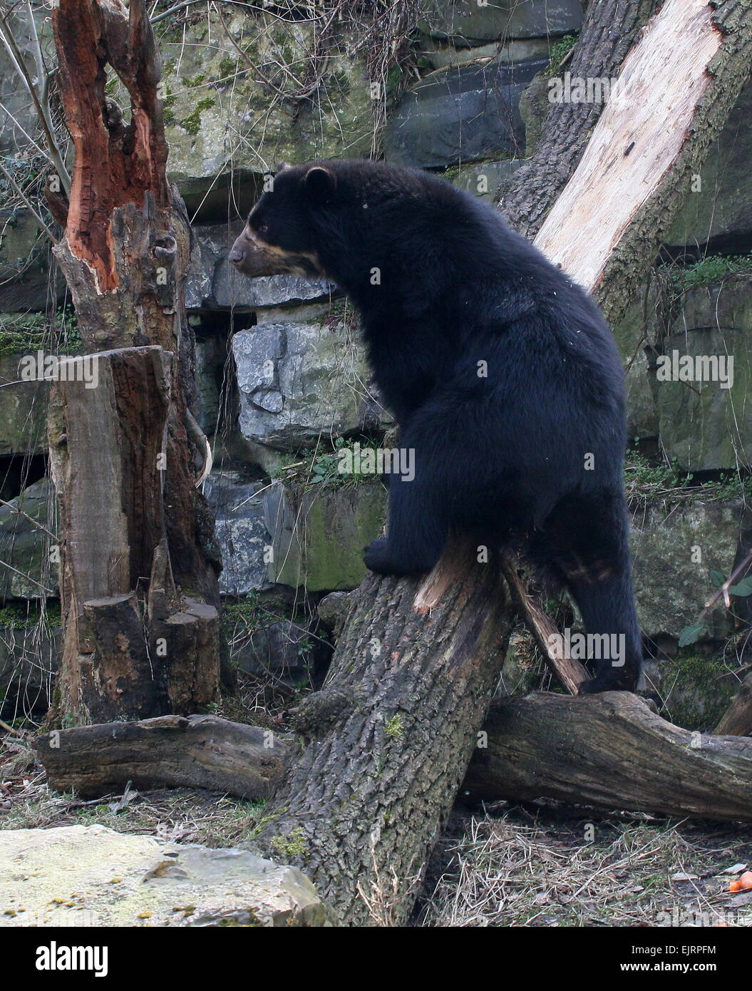 Spectacled or  Andean bear (Tremarctos ornatus) close-up, climbing up a tree stump Stock Photo