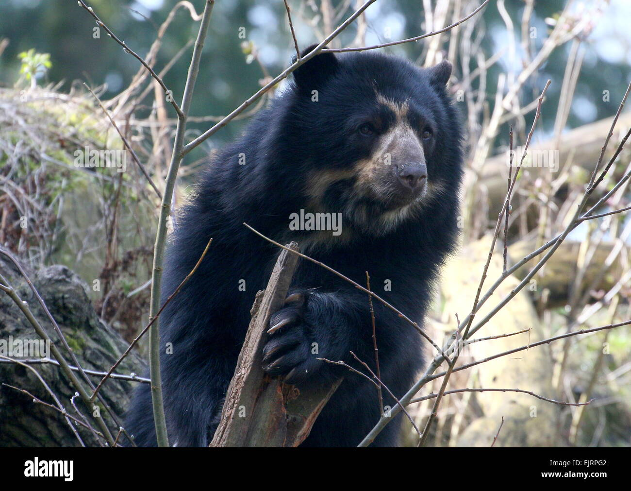 Spectacled or  Andean bear (Tremarctos ornatus) close-up, climbing up a tree Stock Photo
