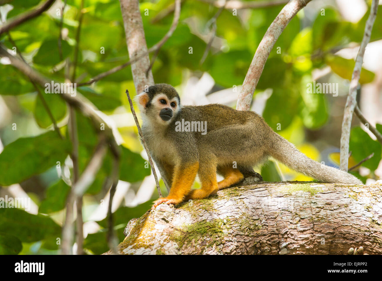 Squirrel monkey, Saimiri, Central Suriname Nature Reserve, Suriname - Stock Image