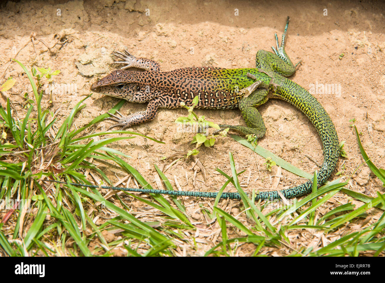 Lizard, Central Suriname Nature Reserve, Suriname - Stock Image