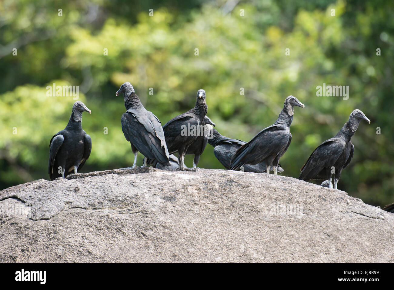 Black Vultures, Coragyps atratus, Central Suriname Nature Reserve, Suriname - Stock Image