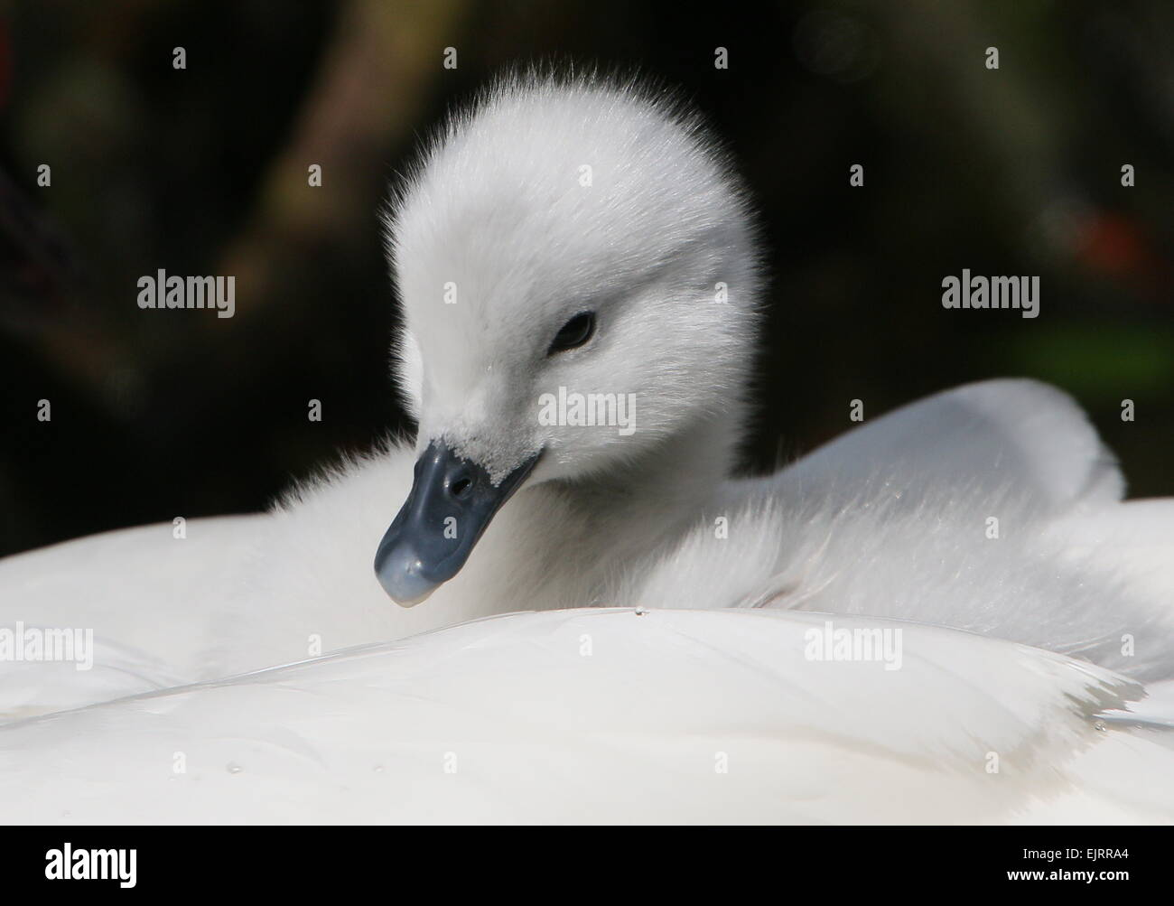 South American Black-necked Swan baby   (Cygnus melanocoryphus)riding piggy-back on mum's back Stock Photo
