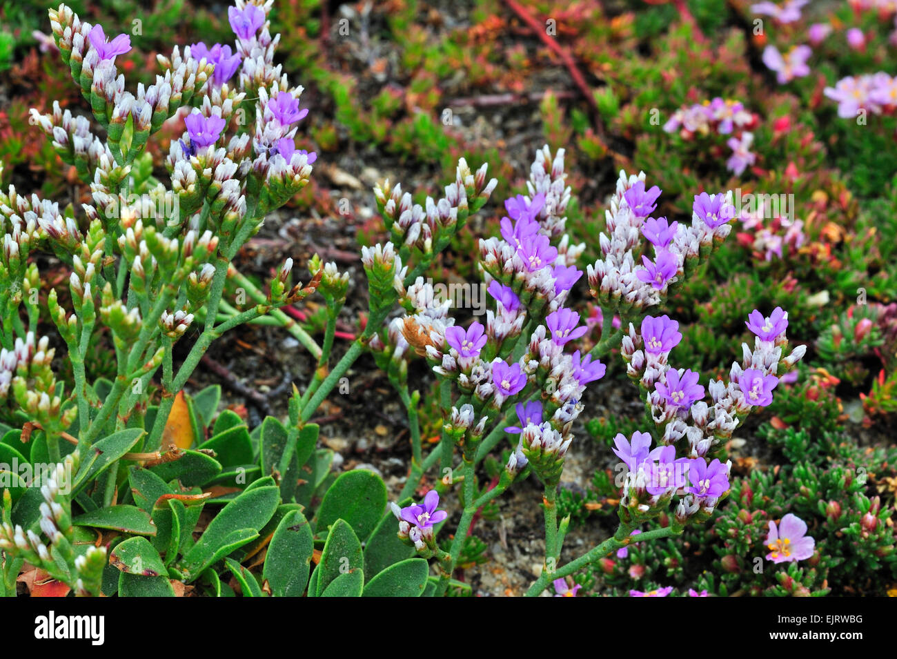 Rock sea lavender / Dwarf sea-lavender (Limonium binervosum) in flower - Stock Image