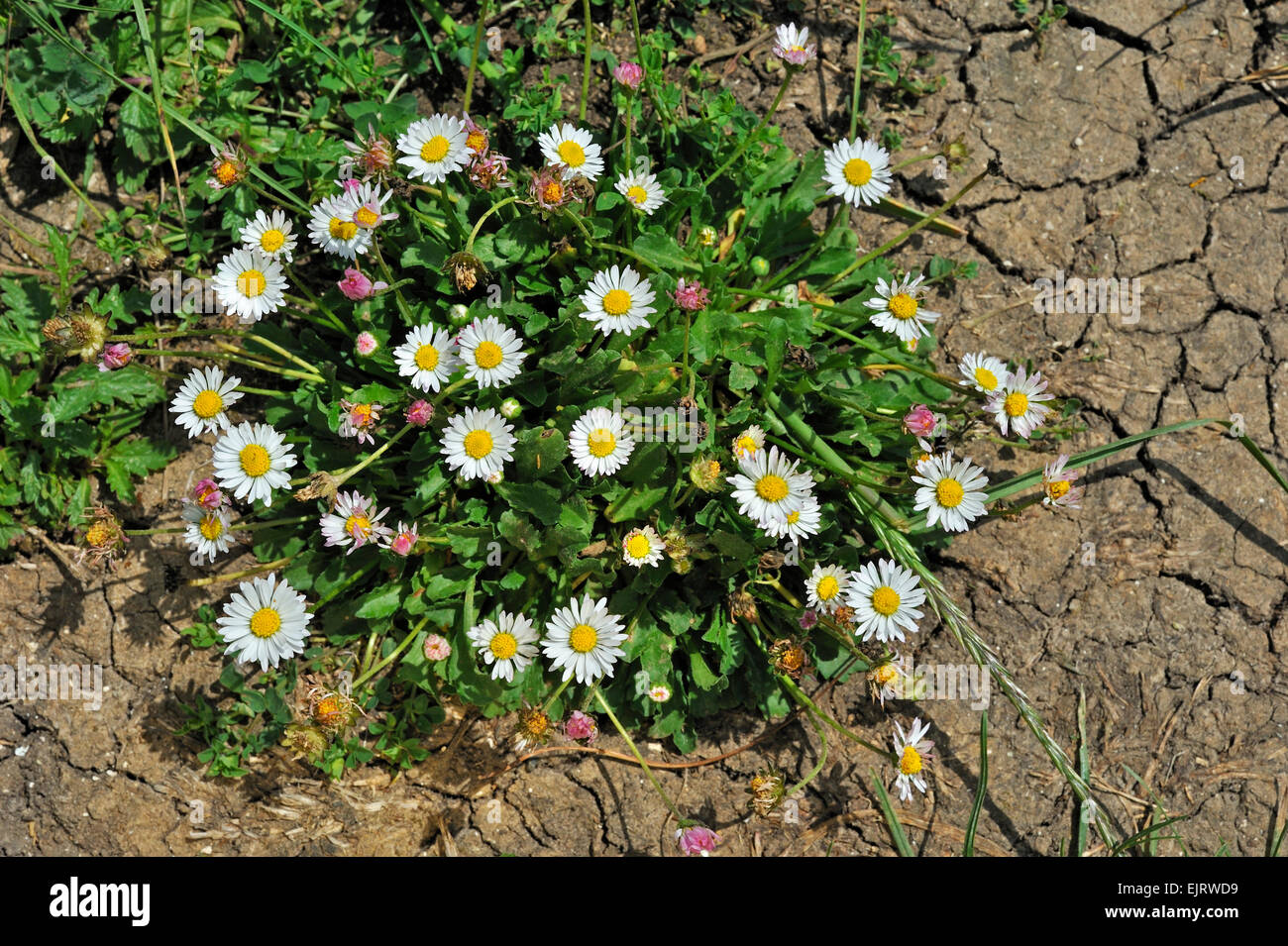 Common daisy / Lawn daisies / English daisy (Bellis perennis) in flower - Stock Image
