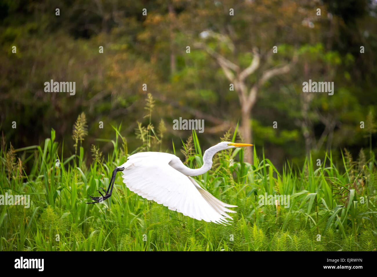 View of a great white heron taking off in the Amazon rainforest in Peru - Stock Image