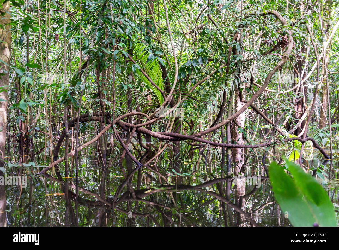 Jungles vines reflected in water in the Amazon rainforest near Iquitos, Peru - Stock Image