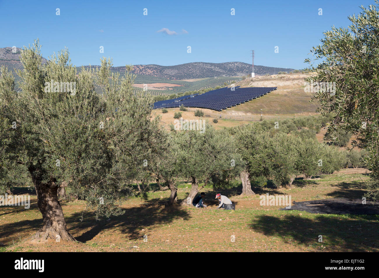 Two women collecting fallen olives from ground.  Solar panel array in background.  Olive trees and solar panels, - Stock Image