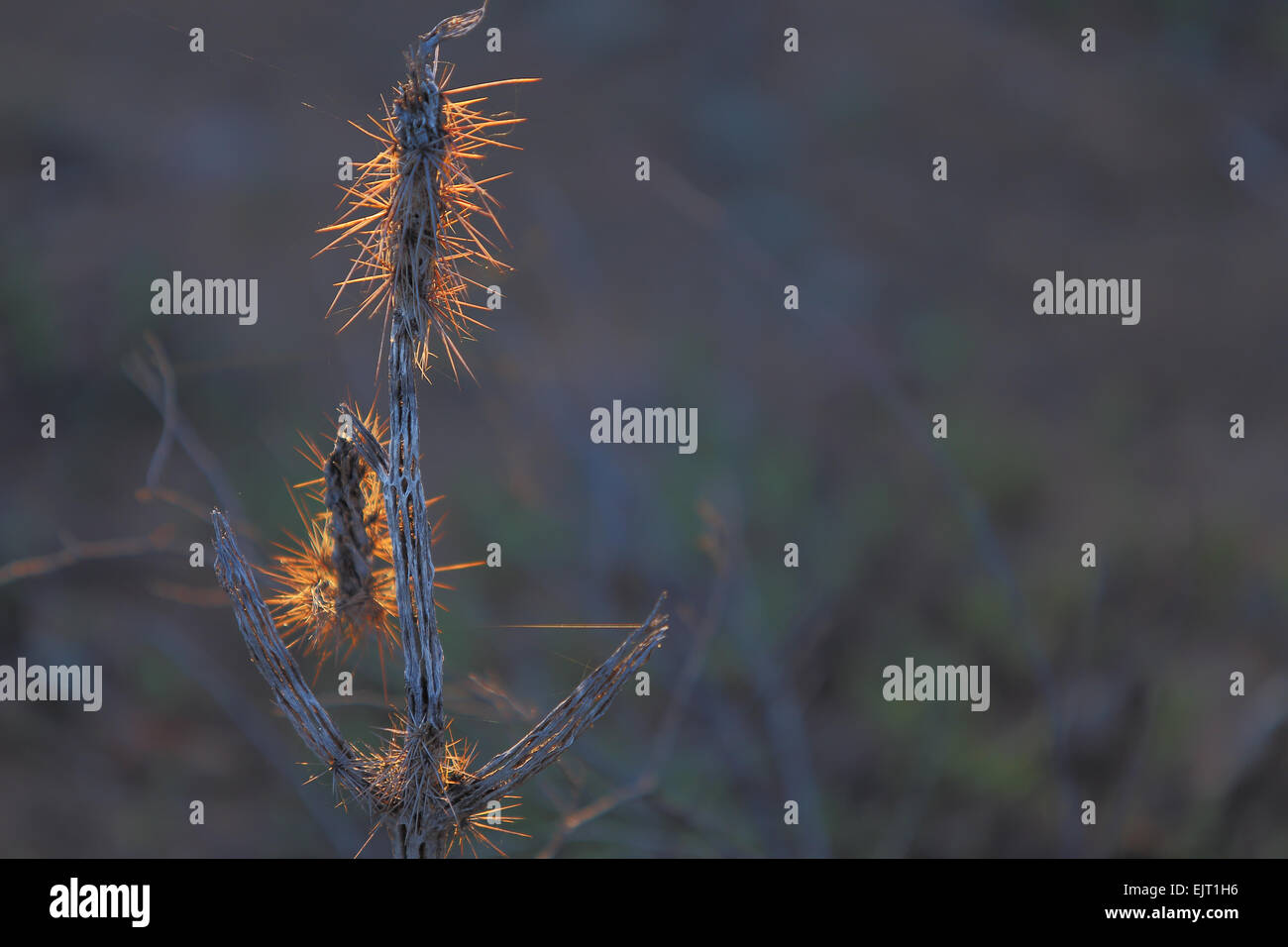 Sunset light highlights the dried remains of a buckhorn cholla cactus skeleton in the desert Southwest Stock Photo