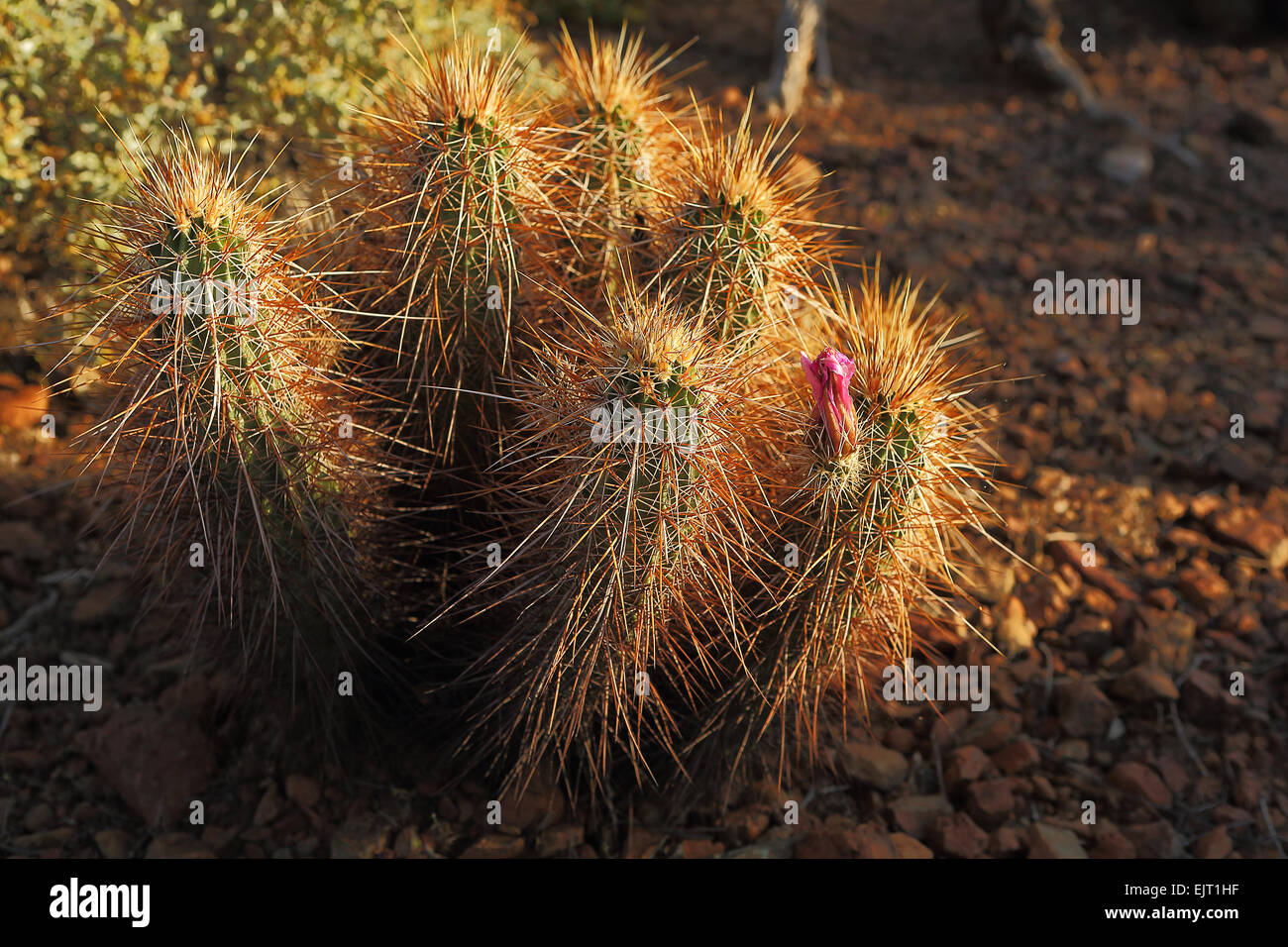 Beautiful pink hedgehog cactus flowers in the desert Southwest - Stock Image