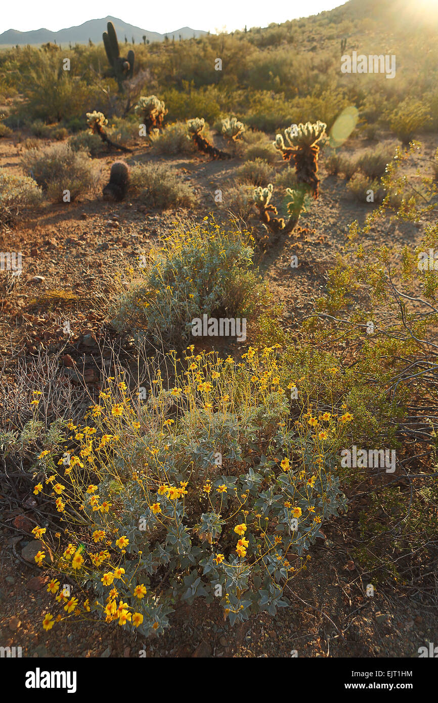 Bright yellow sage flowers in the Southwestern desert sunlight - Stock Image