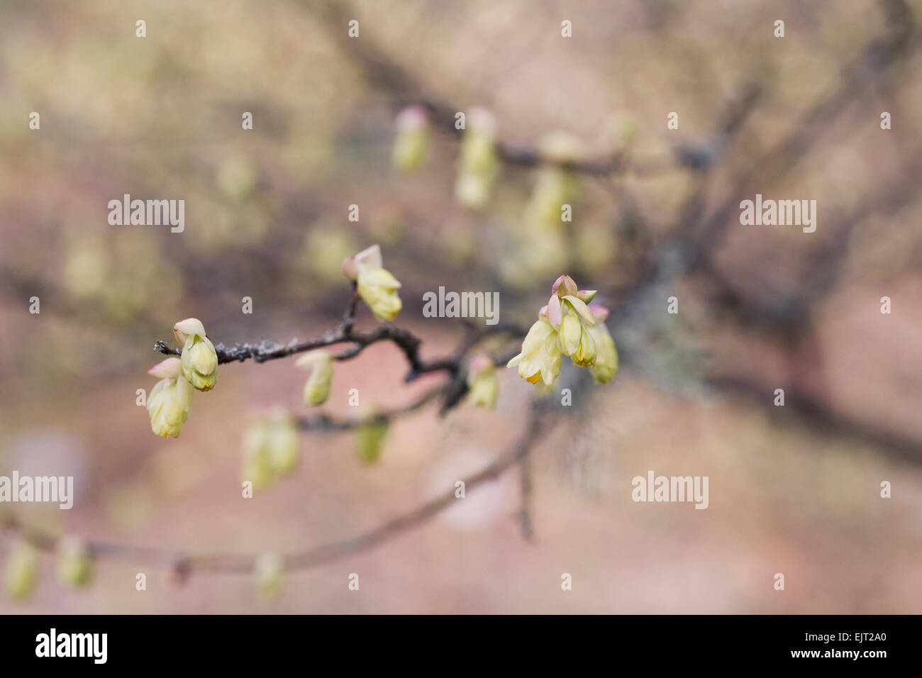 Corylopsis pauciflora flowers in Spring. - Stock Image