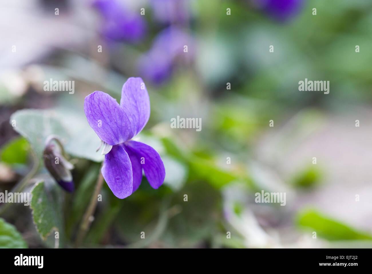 Viola odorata in the garden. - Stock Image