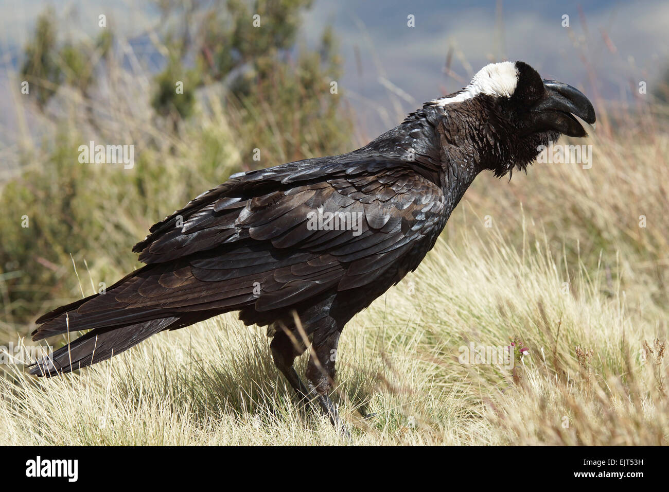Thick-billed Raven, Ethiopia, Africa - Stock Image