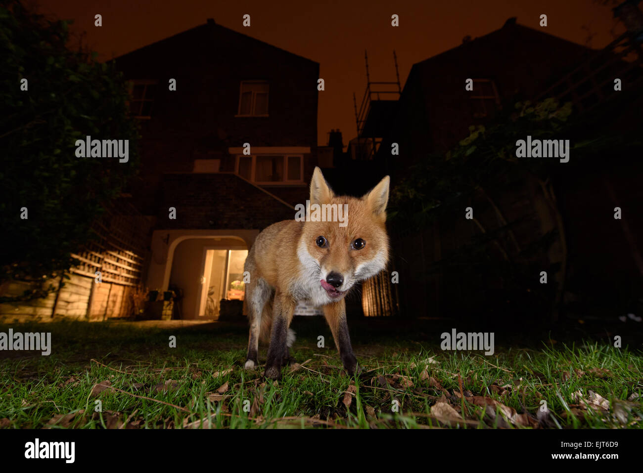Urban fox licking lips in a South London garden at night - Stock Image