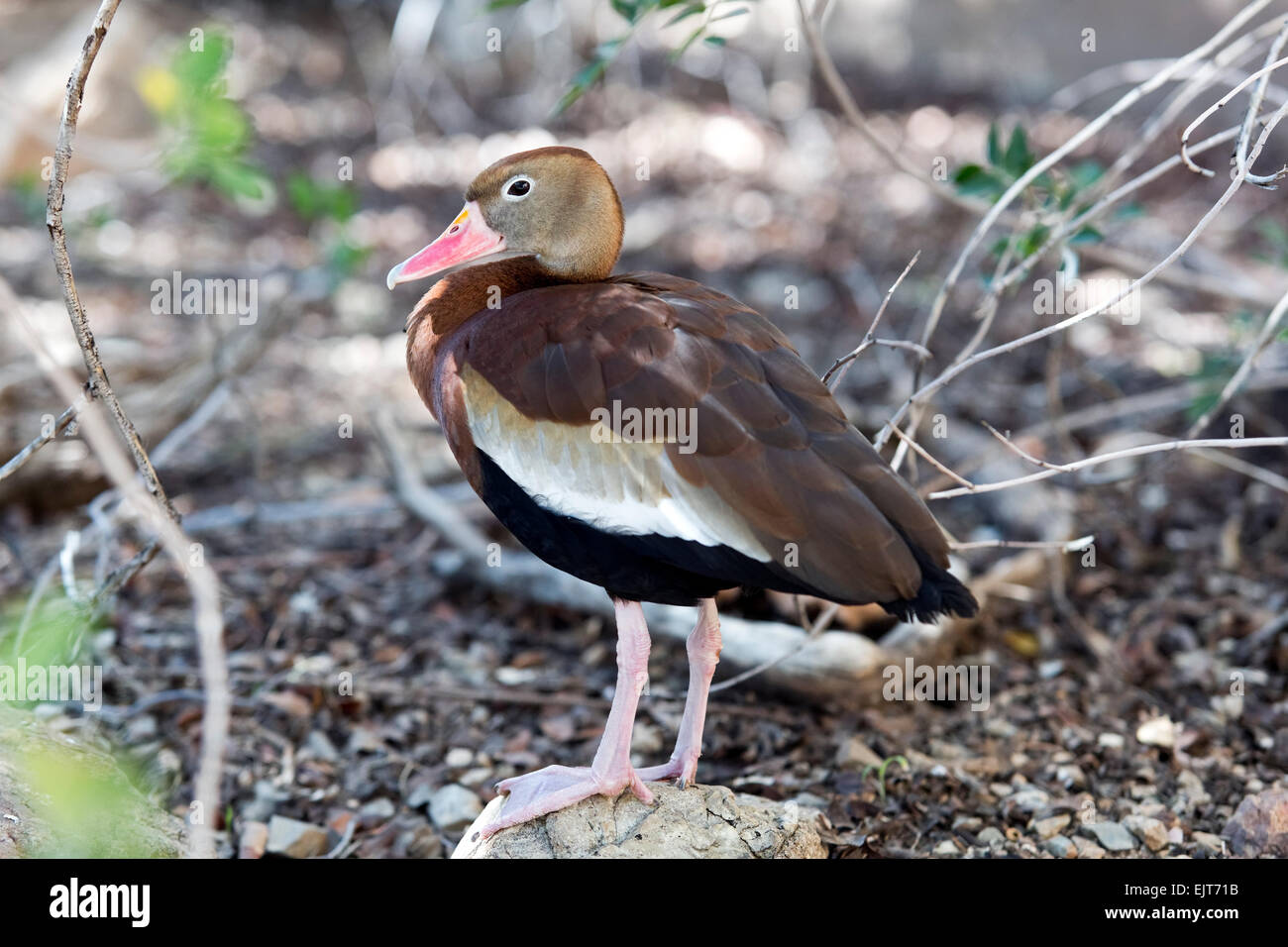 The black-bellied whistling duck (Dendrocygna autumnalis), formerly also called black-bellied tree duck - Stock Image