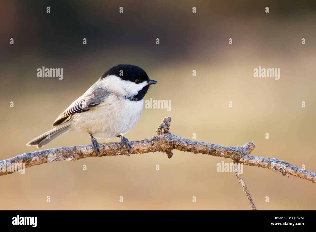 A Carolina chickadee perched in morning sunshine. - Stock Image