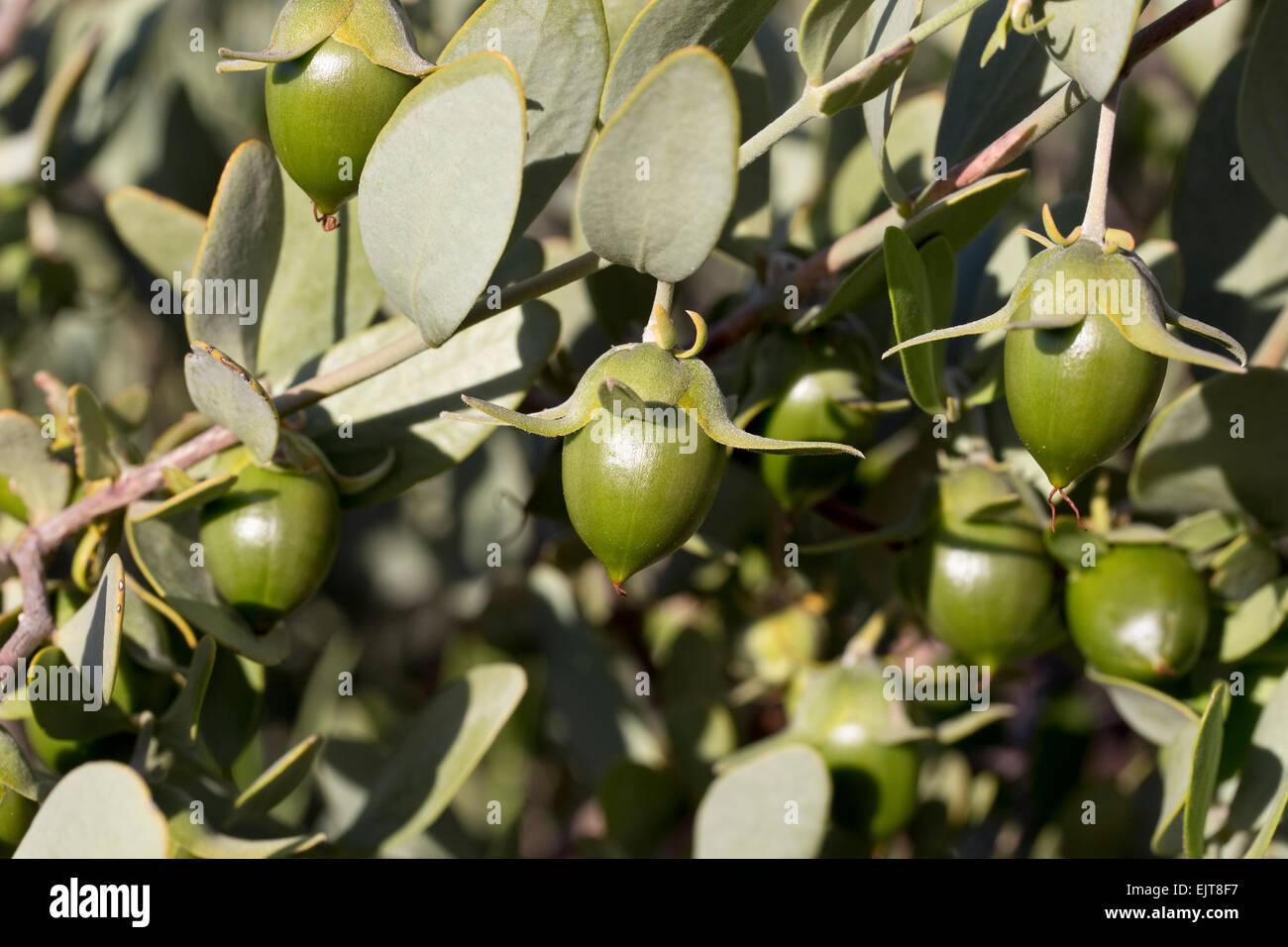 Jojoba (Simmondsia chinensis), Arizona - Stock Image